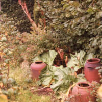 Rhubarb and Forcers, York Gate Garden - YGA00313