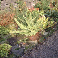 Fern Border Close Up - YGA00501
